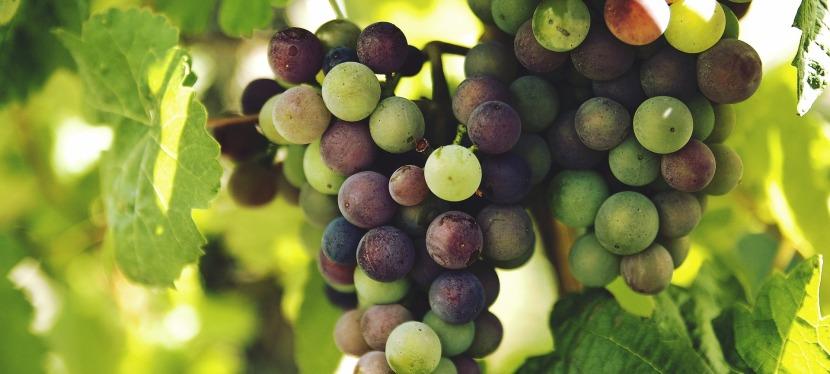 Az igazi szőlőtő