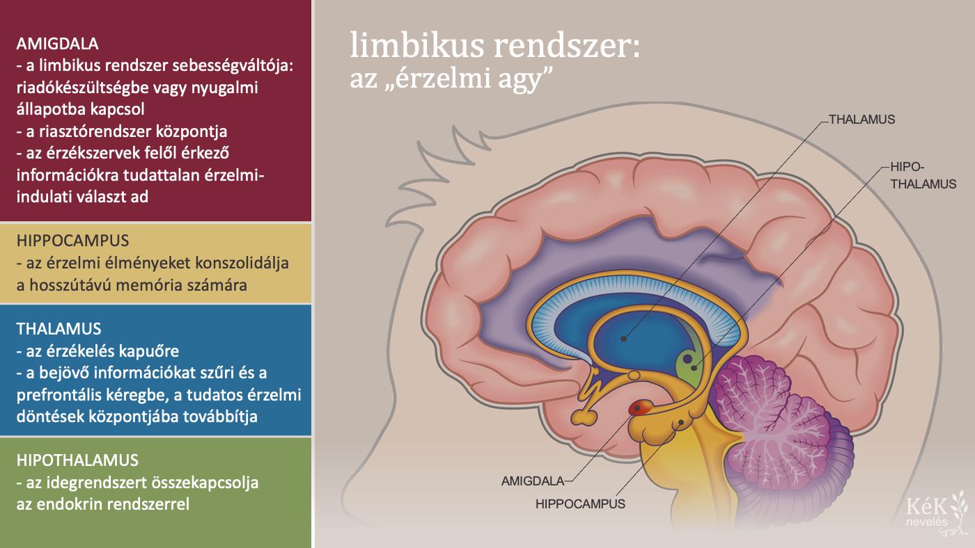 """Limbikus rendszer: az """"érzelmi agy"""""""