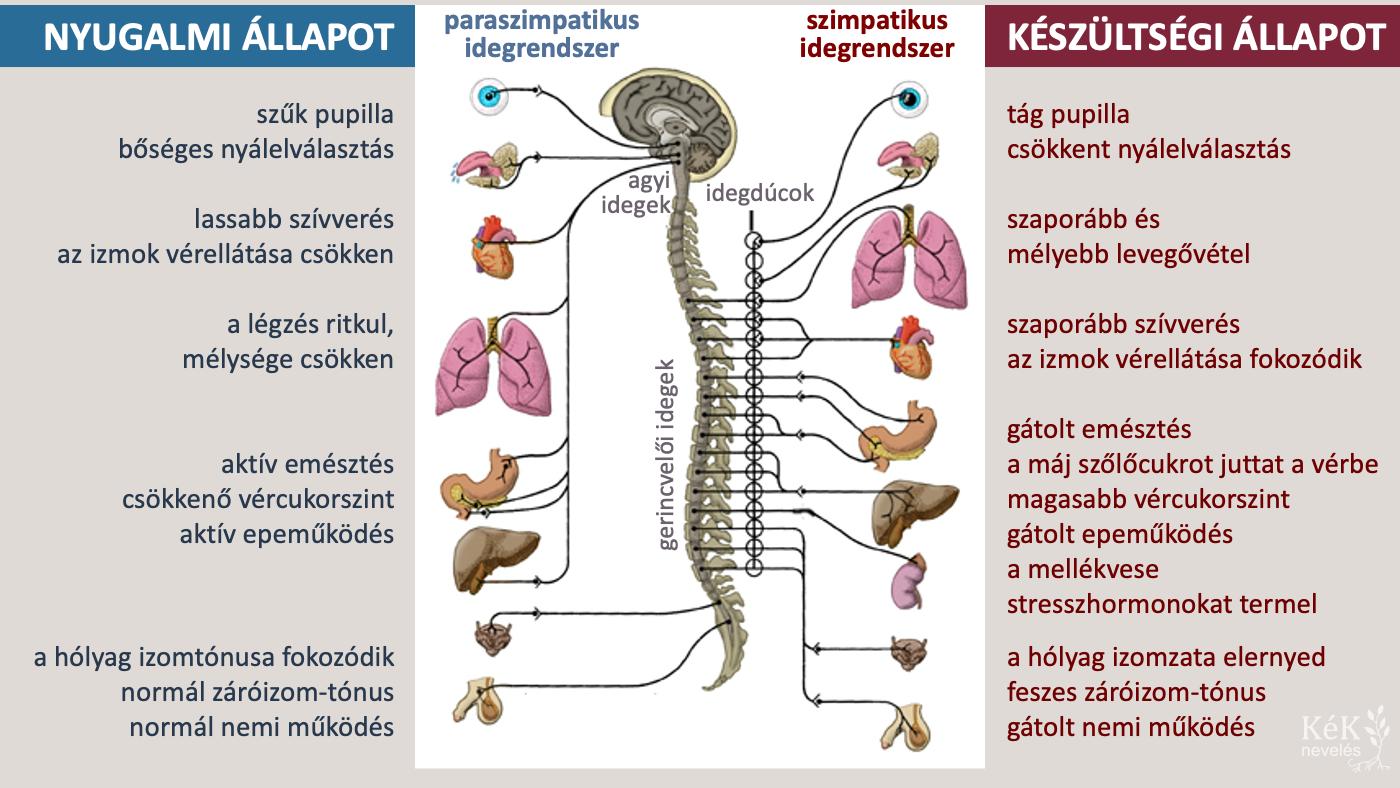 A paraszimpatikus és a szimpatikus idegrendszer: a szervezet kémiai és fizikai változásai nyugalmi és riadókészültségi állapotban.